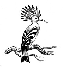 Ink Illustration Of A Hoopoe B...