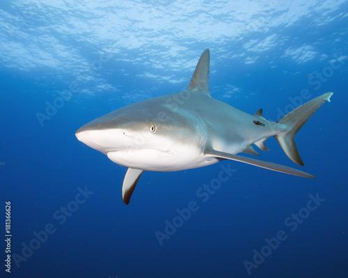 Obraz na dibondzie (fotoboard) Silky Shark (Florida)