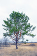 Pinus sylvestris. Pine ordinary on natural background