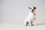 Fototapeta Zwierzęta - Smiling dog at studio