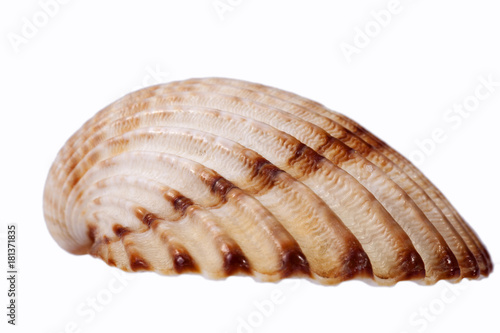 Foto op Aluminium Kip Sea shell of bivalvia isolated on white background