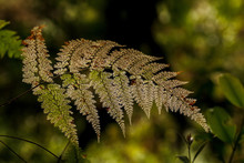 Old Filmy Fern Frond On Blurred Forest Background In Tropical Mountain Cloud Forest, Doi Inthanon National Park, Thailand.