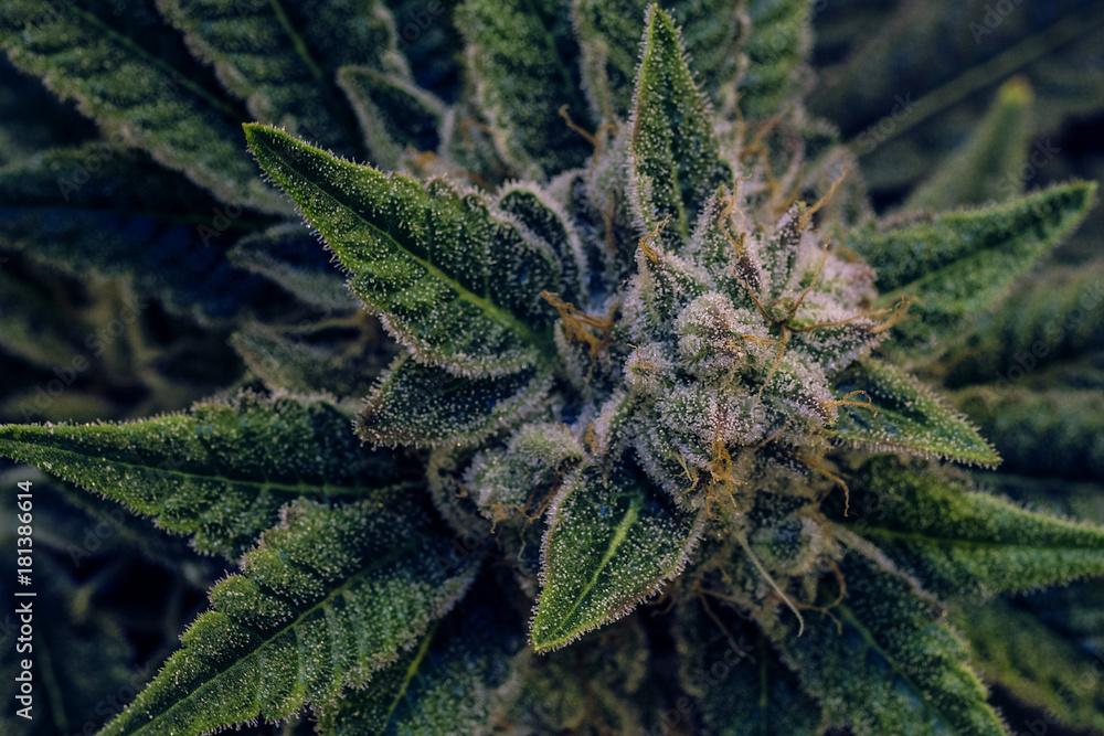 Fototapety, obrazy: Live Cannabis Bud Shot