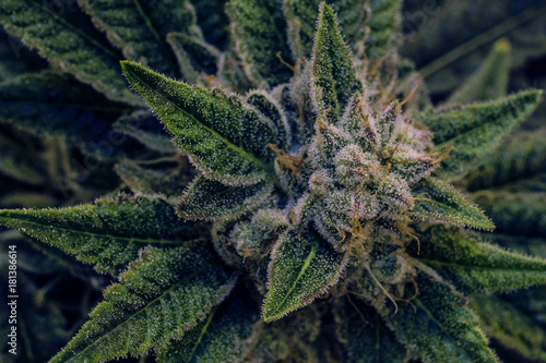 Door stickers Macro photography Live Cannabis Bud Shot