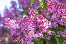 Purple Lilac Flowers At The Bl...
