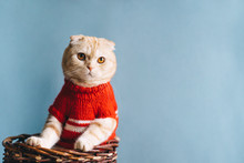 Cute Scottish Fold Cat Sitting In A Basket Wearing Red Sweater