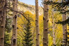 Aspen Tree Fall Colors: Flagst...