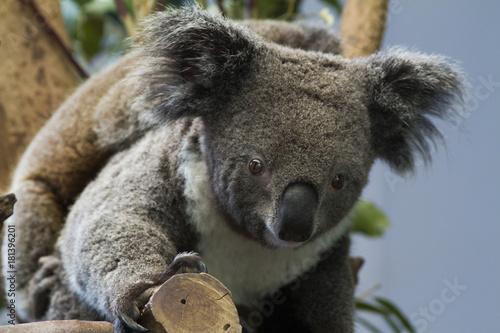 Keuken foto achterwand Koala koala bear