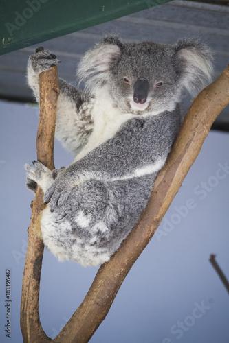 Staande foto Koala koala bear