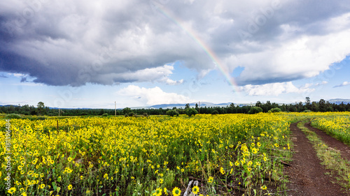 Poster Jaune Rainbow Over a Field of Wild Sunflowers