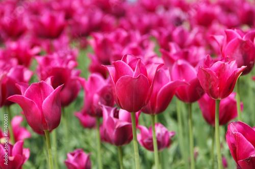 Plakat Zakończenie różowi tulipany w polu w holandiach Amsterdam