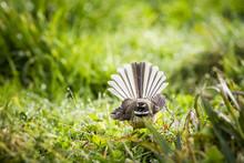 Fantail Bird Or Piwaka