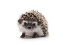 African Pygmy Hedgehog Isolate...