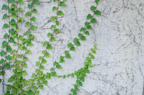 Green Fresh Climbing Plant On Rustic White Concrete Wall