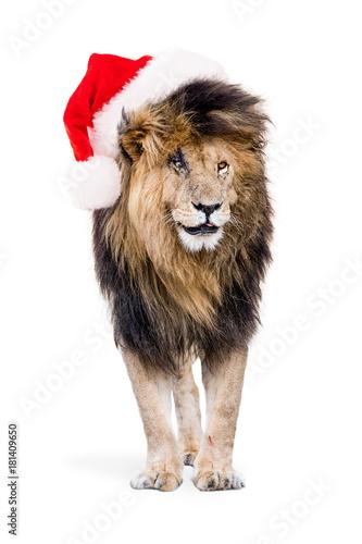 Foto op Plexiglas Leeuw African Lion Wearing Christmas Santa Hat