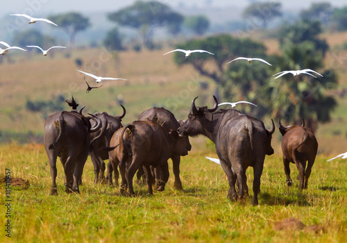 Keuken foto achterwand Buffel Bufali Uganda Queen Elizabeth NP