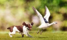 Dog Chasing Bird In Field