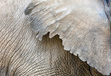Elephant Skin Texture Closeup
