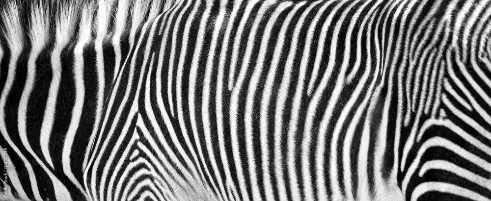 Fototapety, obrazy: Zebra Print Black and White Horizontal Crop