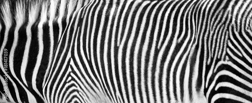 Staande foto Zebra Zebra Print Black and White Horizontal Crop