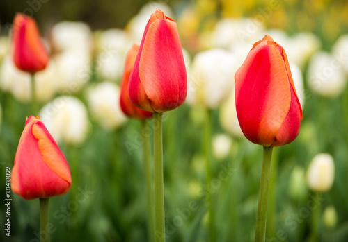 Plakat Tulipany