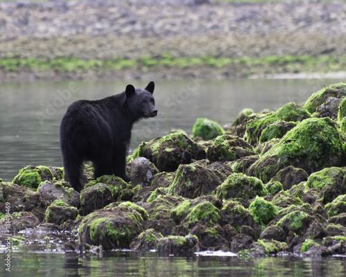 Black bear standing on rocks at low tide Tofino British Columbia Canada Canvas Print