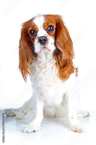 Fotomural Beautiful friendly cavalier king charles spaniel dog