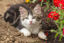 Playful Tabby Kitten Resting O...
