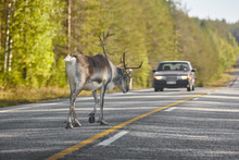 Reindeer Crossing A Road In Finland. Finnish Landscape. Travel
