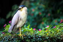 Black-crowned Night Heron Bird...
