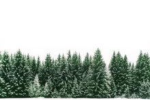 Spruce Tree Forest Covered By Fresh Snow During Winter Christmas Time. The Winter Scene Is Almost Duotone Due To The Contrast Between The Frosty Spruce Trees, White Snow Foreground And White Sky.