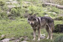 Eurasian Wolf - Gray Wolf (Can...