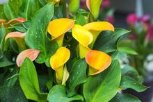 Bouquet Of Yellow Calla Lilies...