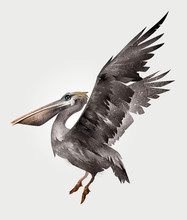Isolated Painted Pelican Bird In Flight, Side View
