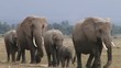 Elephants walks in a line past the camera at close range.