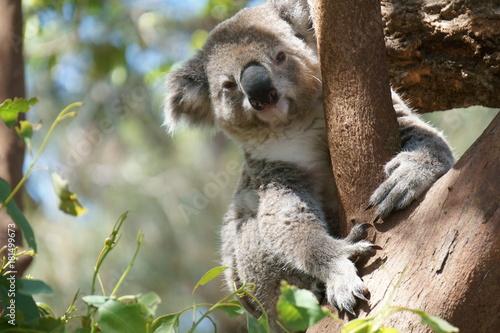 Foto op Canvas Koala コアラ