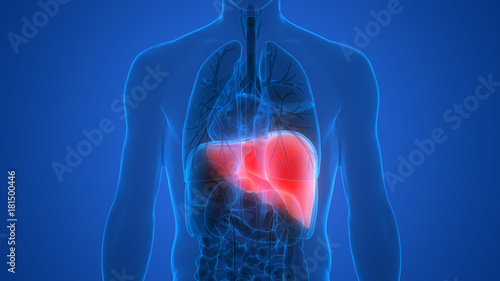 Human Body Organs Anatomy Liver Posterior View Buy This Stock