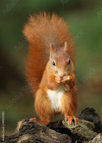 Foto op Canvas Eekhoorn Photogénique à souhait !le petit roux!
