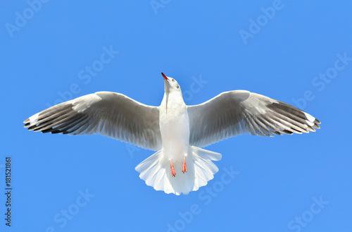 Zdjęcie XXL mewa latania na niebieskim niebie