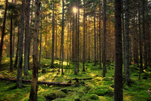 Cozy Mossy Green Forest With Back-light In The Sunset.