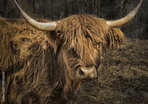 Fototapety, obrazy: Scottish Highland Cattle