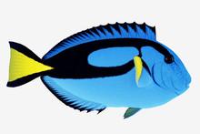Blue Tang Fish -The Blue Tang ...