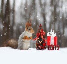 Red Squirrel Sits On The Snow ...