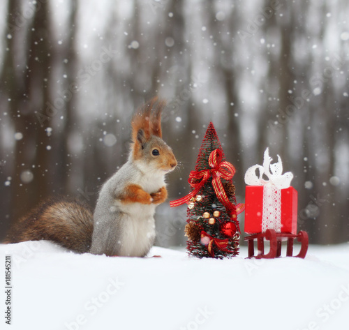 Foto op Canvas Eekhoorn Red squirrel sits on the snow near small Christmas tree