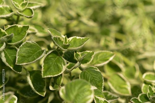 Cuban oregano or Country borages or Jamaika Thymian weißbunt Plectranthus amboinicus variegatus