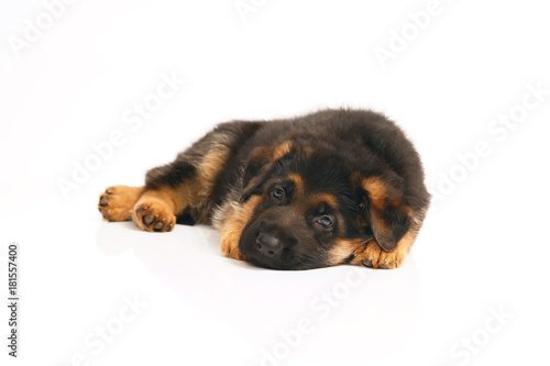 Poster Chien Cute German Shepherd puppy lying down indoors on a white background