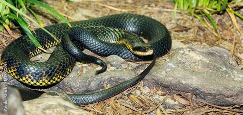 Photo snake from Australia