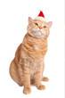 Cute red yellow pale cat in christmas hat sitting isolated on white background.