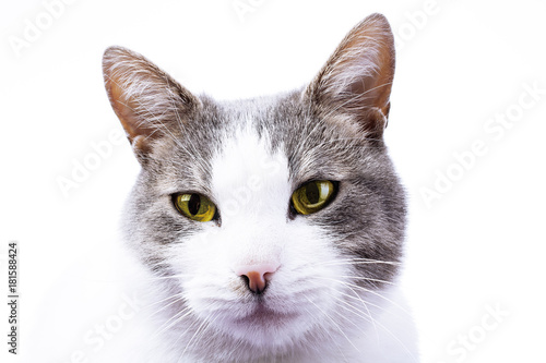 Cat Hd Wallpaper Cover Background Domestic Beautiful Stunning Cat On Isolated White Studio Photo Cat With Beautiful Eyes Yellow Eye Color Cute Buy This Stock Photo And Explore Similar Images At