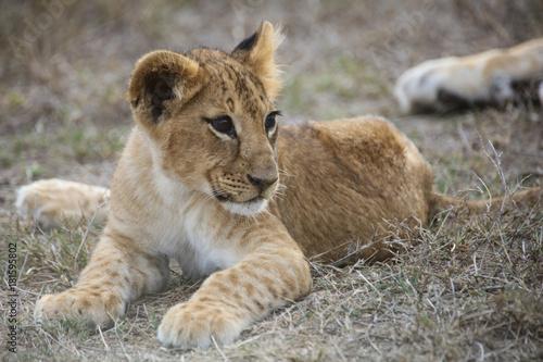 Fotografie, Obraz  African lion cub lying down